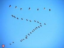 Eurasian_Cranes_migrating_to_Meyghan_Salt_Lake